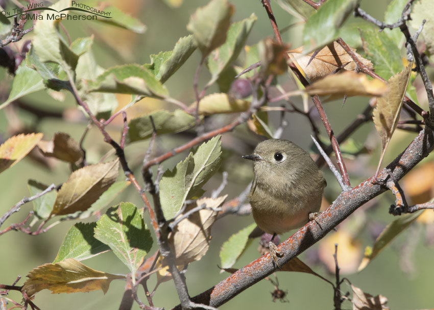 Ruby-crowned Kinglet perched in a Hawthorn, Morgan County, Utah