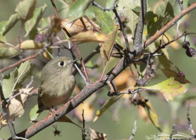 Ruby-crowned Kinglet on a windy September morning, Morgan County, Utah
