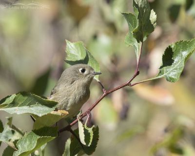 Ruby-crowned Kinglet foraging in a Hawthorn tree, Morgan County, Utah