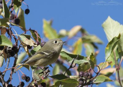 Ruby-crowned Kinglet and Hawthorn berries, Morgan County, Utah