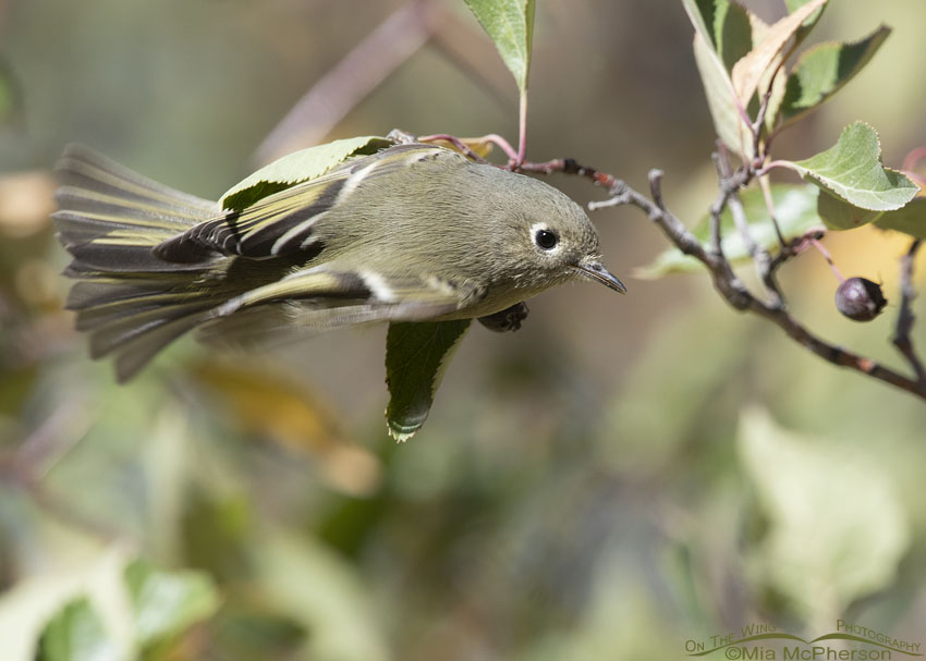 Ruby-crowned Kinglet about to take flight, Morgan County, Utah
