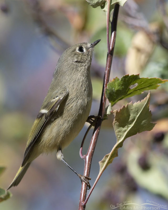 Ruby-crowned Kinglet looking up into a Hawthorn, Morgan County, Utah