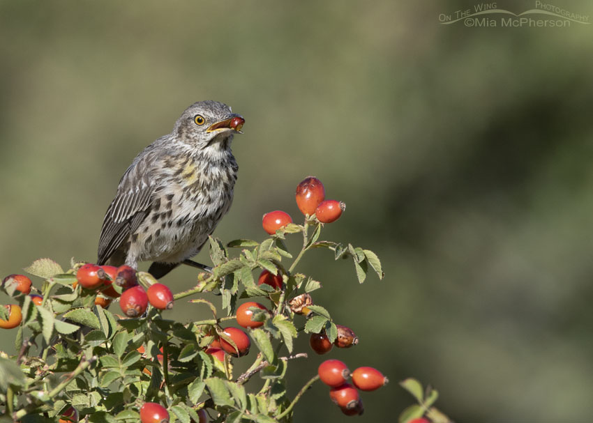Immature Sage Thrasher with fruit on a Wild Rose, Box Elder County, Utah