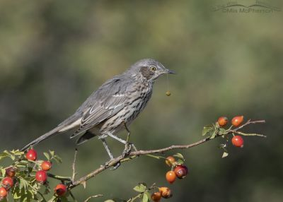 Adult Sage Thrasher with a fruit pit hanging from its bill by saliva, Box Elder County, Utah