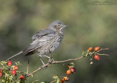 Sage Thrasher fluffing its feathers on a Wild Rose, Box Elder County, Utah