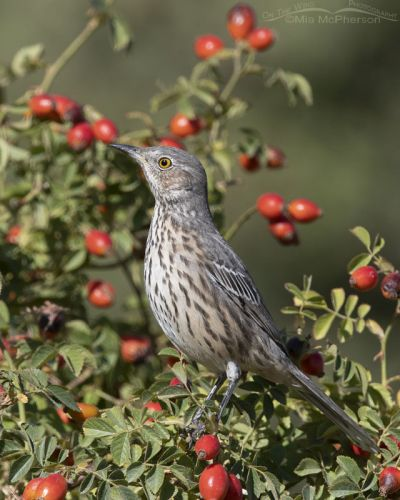 Sage Thrasher sitting pretty in a Wild Rose, Box Elder County, Utah