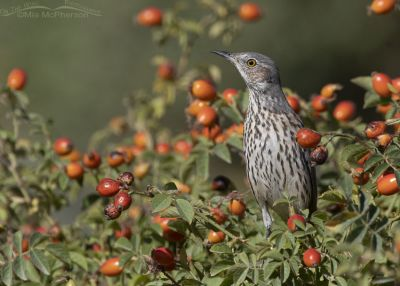 Alert Sage Thrasher with Wild Rose hips, Box Elder County, Utah