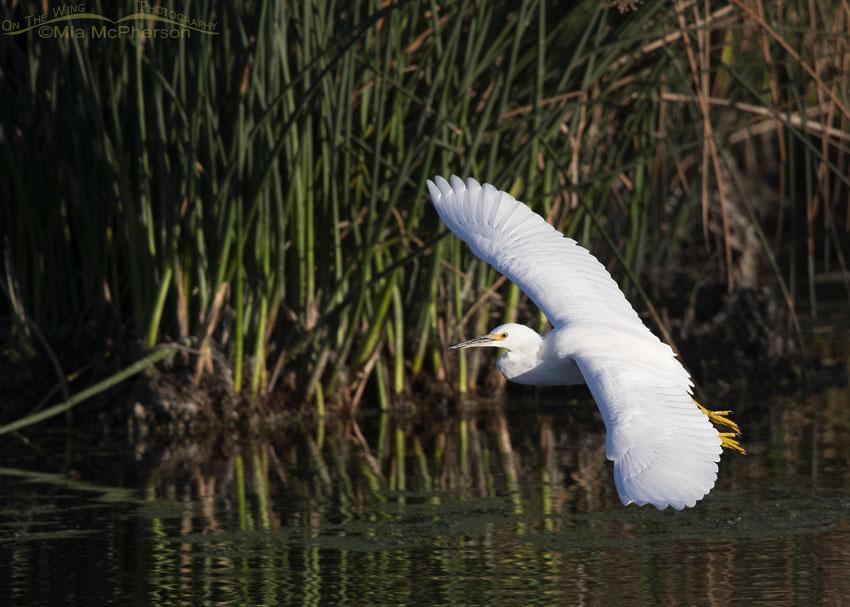Snowy Egret in flight on a clear September morning, Farmington Bay WMA, Davis County, Utah