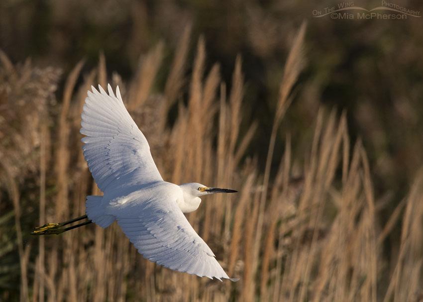 Snowy Egret in flight on a late September morning, Farmington Bay WMA, Davis County, Utah