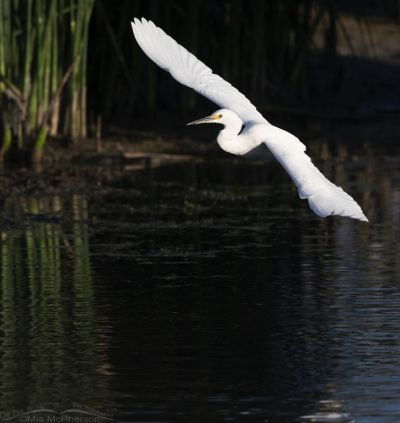 Banking Snowy Egret in flight, Farmington Bay WMA, Davis County, Utah