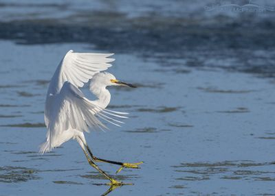 Snowy Egret landing in shallow water, Farmington Bay WMA, Davis County, Utah