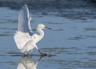 Snowy Egret using its wings to slow down as it lands, Farmington Bay WMA, Davis County, Utah
