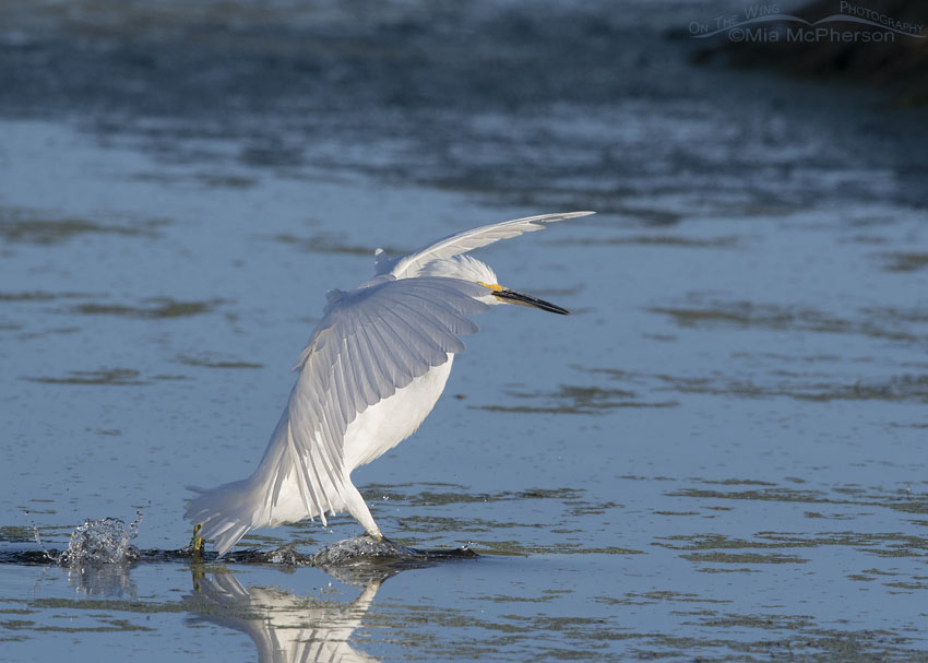 Snowy Egret leaning in on landing, Farmington Bay WMA, Davis County, Utah