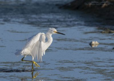 Snowy Egret moments after landing, Farmington Bay WMA, Davis County, Utah