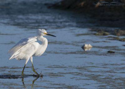 Snowy Egret settling down after landing, Farmington Bay WMA, Davis County, Utah