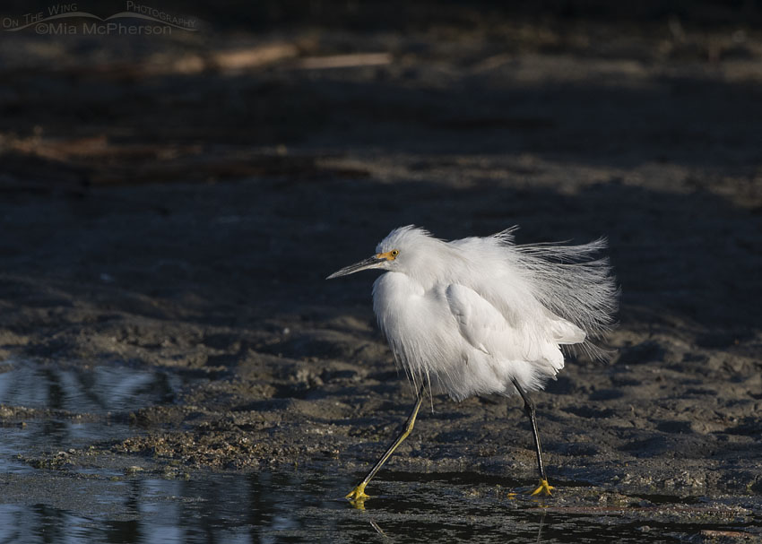 Strutting, fluffed up Snowy Egret in early morning light, Farmington Bay WMA, Davis County, Utah
