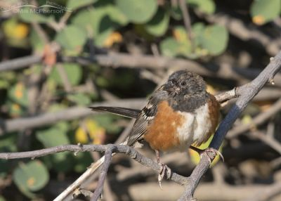 Juvenile Spotted Towhee, Morgan County, Utah