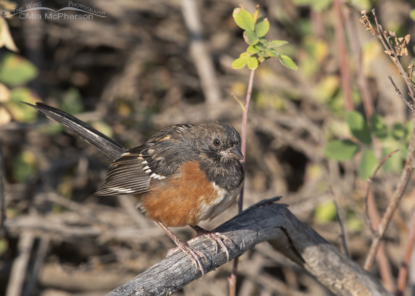 Juvenile Spotted Towhee in molt, Morgan County, Utah