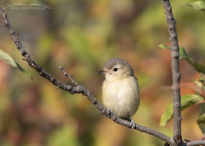 Warbling Vireo perched on a Chokecherry branch, Morgan County, Utah