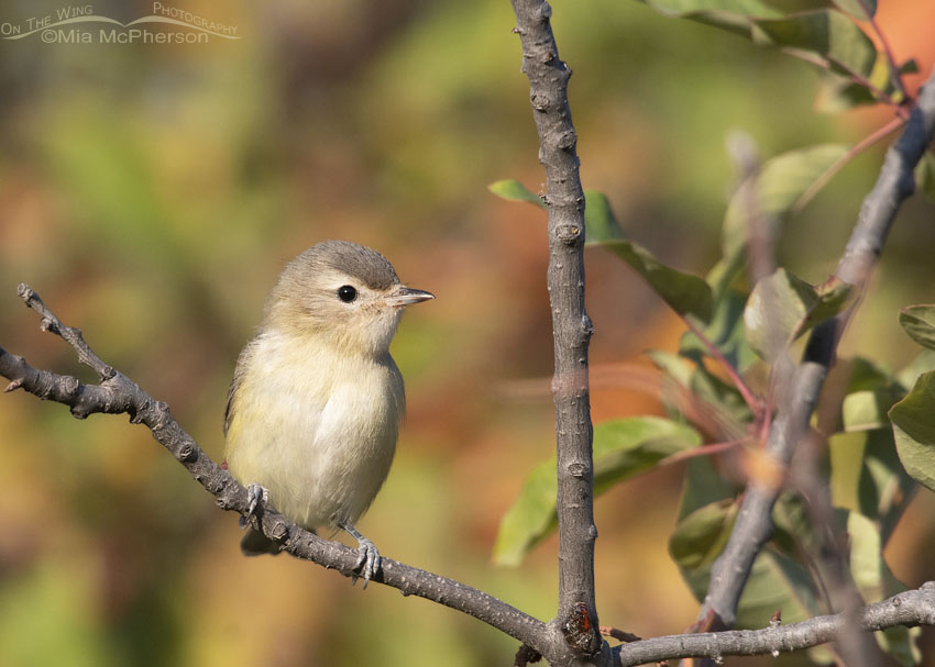 Autumn colors with a Warbling Vireo, Morgan County, Utah