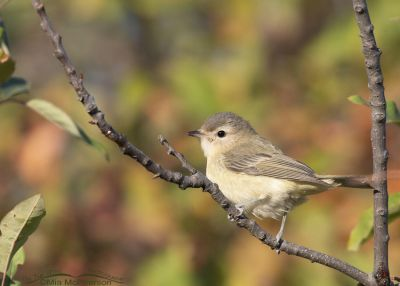 Warbling Vireo in front of fall colors, Morgan County, Utah
