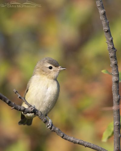 Perky Warbling Vireo in the Wasatch Mountains, Morgan County, Utah