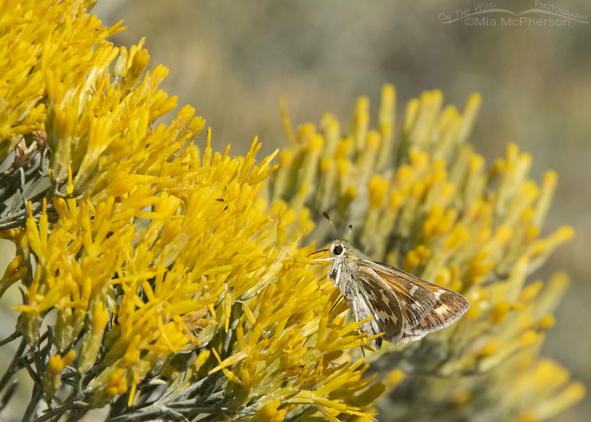 Western Branded Skipper Butterfly nectaring on Rabbitbrush, West Desert, Stansbury Mountains, Tooele County, Utah