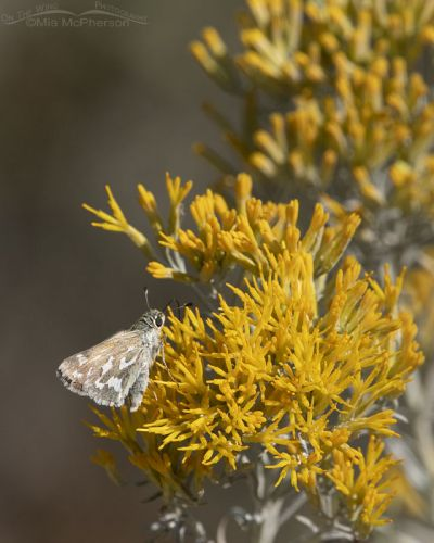 Western Branded Skipper on Rabbitbrush, West Desert, Stansbury Mountains, Tooele County, Utah