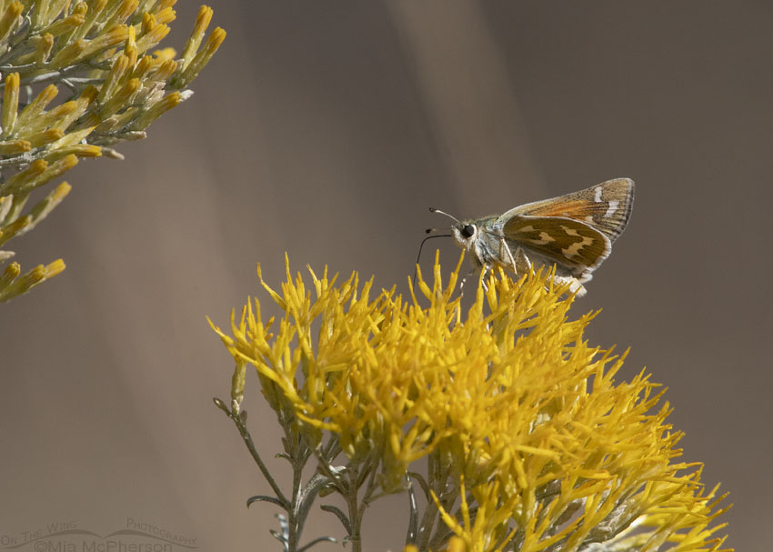 Western Branded Skipper Butterfly in the Stansbury Mountains, West Desert, Stansbury Mountains, Tooele County, Utah