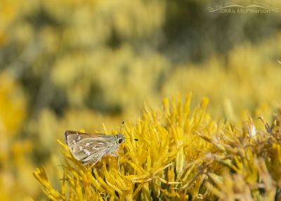 Western Brand Skipper Butterfly on blooming Rabbitbrush, West Desert, Stansbury Mountains, Tooele County, Utah