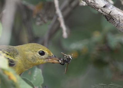 Close up of a female Western Tanager with a Bald-faced Hornet, Morgan County, Utah