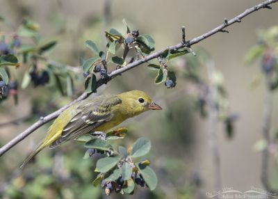Female Western Tanager in a Serviceberry, Morgan County, Utah