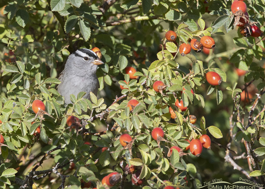 Adult White-crowned Sparrow peeking out of a Wild Rose, Box Elder County, Utah