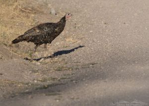 Wild Turkey about to cross a road, Stansbury Mountains, West Desert, Tooele County, Utah