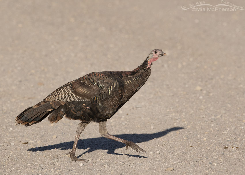 Sly look from a Wild Turkey, Stansbury Mountains, West Desert, Tooele County, Utah