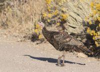 Rabbitbrush and Wild Turkey, Stansbury Mountains, West Desert, Tooele County, Utah