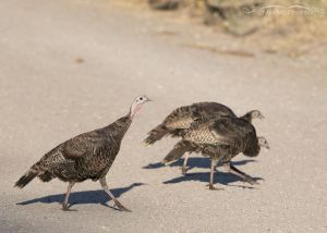 Three Turkeys crossing a road, Stansbury Mountains, West Desert, Tooele County, Utah