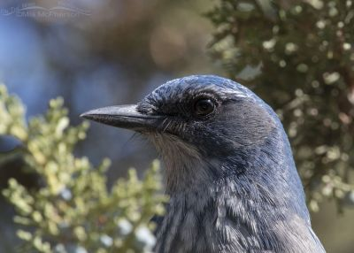 Woodhouse's Scrub-Jay portrait in junipers, Stansbury Mountains, West Desert, Tooele County, Utah