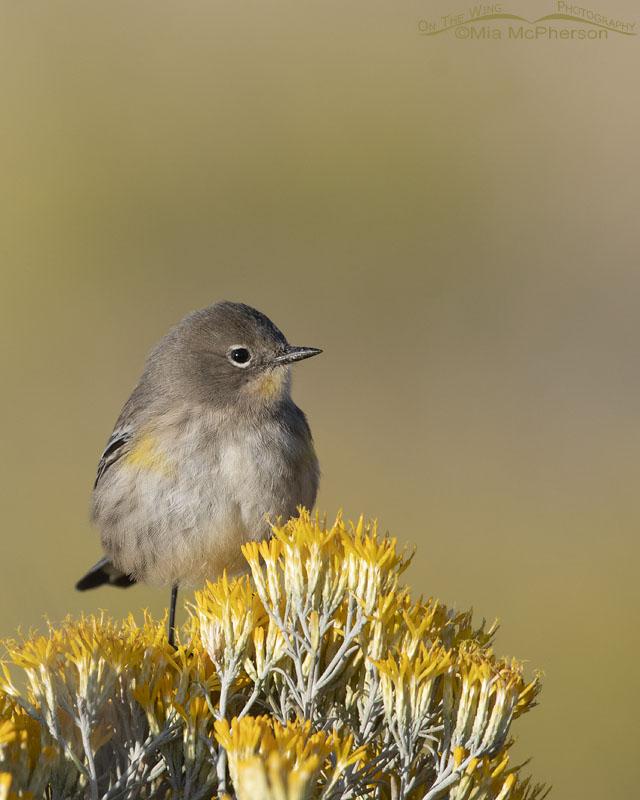 Yellow-rumped Warbler and Rabbitbrush, Antelope Island State Park, Davis County, Utah