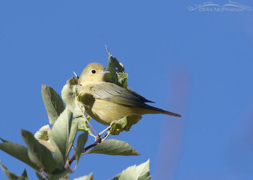 Yellow Warbler - Normal Eye, Wasatch Mountains, Morgan County, Utah