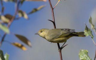 Half blind Yellow Warbler, Wasatch Mountains, Morgan County, Utah