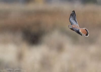 Male American Kestrel turning in flight, Farmington Bay WMA, Davis County, Utah