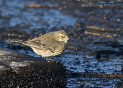 American Pipit in early morning light at Bear River MBR, Bear River Migratory Bird Refuge, Box Elder County, Utah