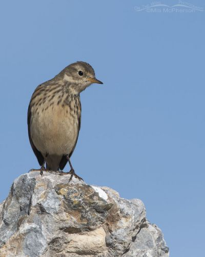 American Pipit perched in a high rock, Farmington Bay WMA, Davis County, Utah