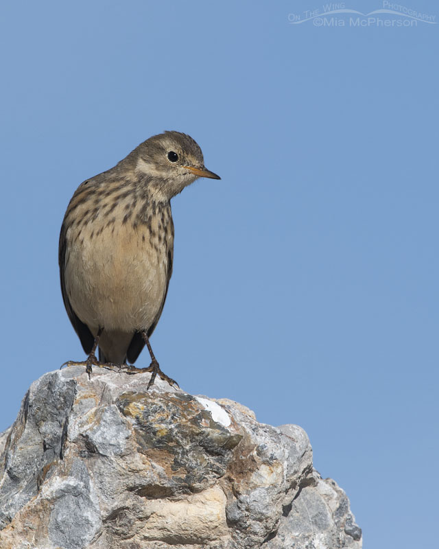 American Pipit perched in a high rock, Farmington Bay WMA, Davis County, Utah