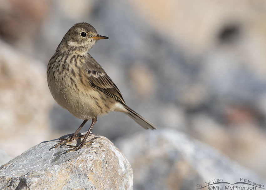 An American Pipit in nonbreeding plumage, Farmington Bay WMA, Davis County, Utah