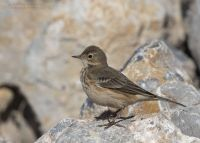 American Pipit about to fluff its feathers, Farmington Bay WMA, Davis County, Utah