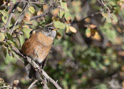 Adult American Robin in a Serviceberry tree, Wasatch Mountains, Morgan County, Utah