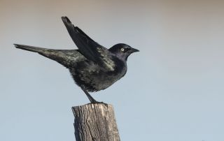 Male Brewer's Blackbird shaking after preening, Farmington Bay Waterfowl Management Area, Davis County, Utah