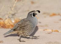 Male California Quail running in morning light, Davis County, Utah